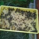 Hungrige Bienen