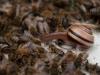 Einsame Schnecke zwischen Bienen