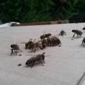 Bienen wollen zum Volk