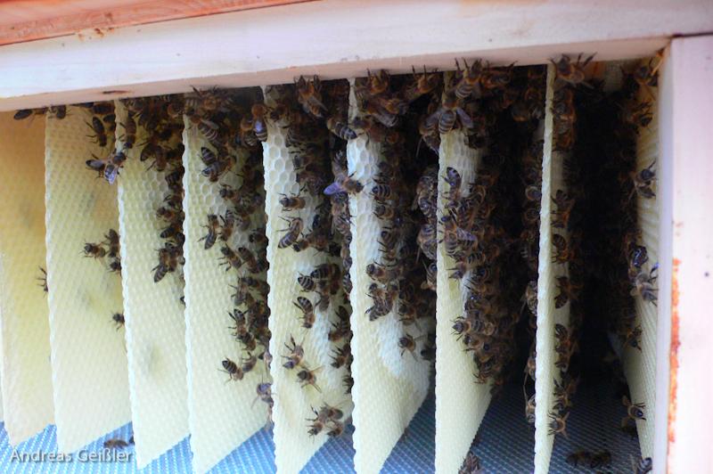 Honigraum nach 2 Wochen