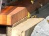 Erste Pollen im Frühling